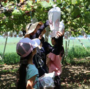 ブドウを収穫