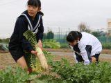 江南市立西部中学校1年生がダイコンの収穫体験