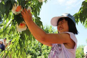 桃収穫体験2