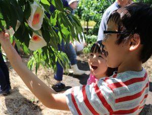 桃収穫体験1