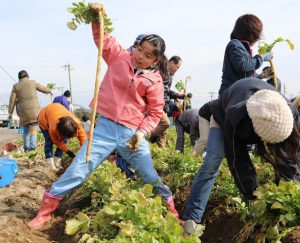 守口大根の収穫体験を開催「収穫する参加者」1