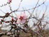 桃の栽培講習会を行いました