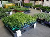 野菜苗販売 各店舗にて開催しました