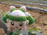 サツマイモの苗を定植しました