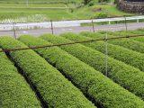 犬山市子ども大学「緑茶の収穫体験」を行いました