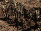 岩倉フレッシュミズ「ゴボウ収穫体験」を開催しました