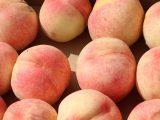 犬山市子ども大学 第2回「桃の収穫」開催しました